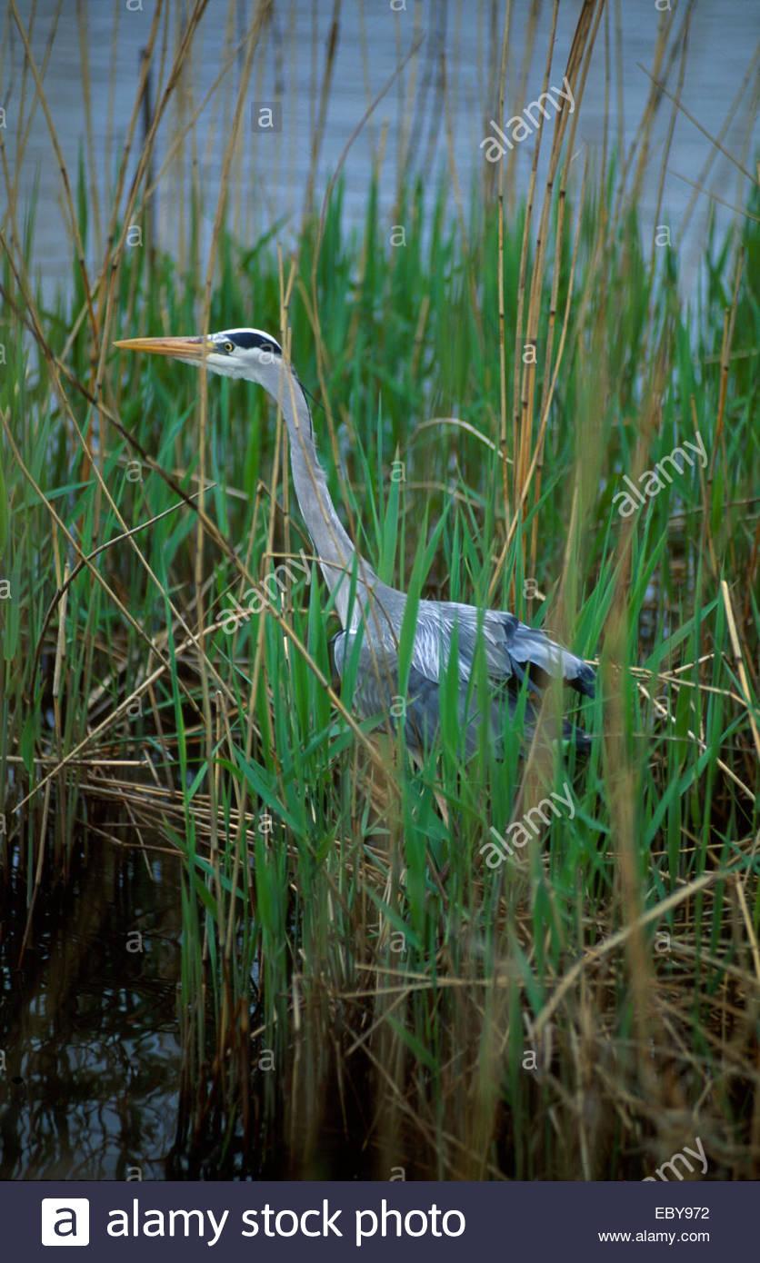 Camargue, Heron - Stock Image