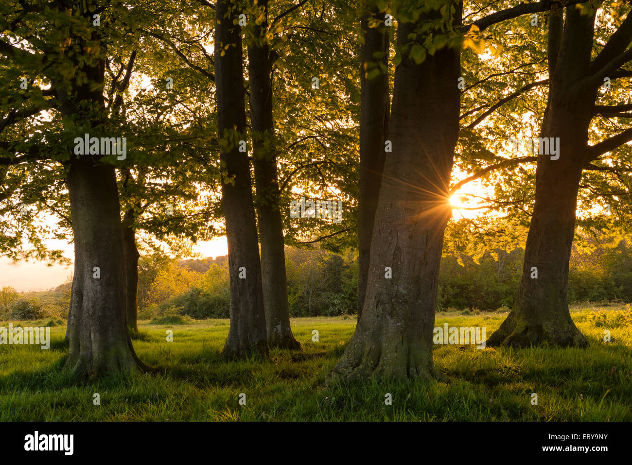 Sun setting behind small copse of trees near Haresfield Beacon in the Cotswolds, Gloucestershire, England. Stock Photo