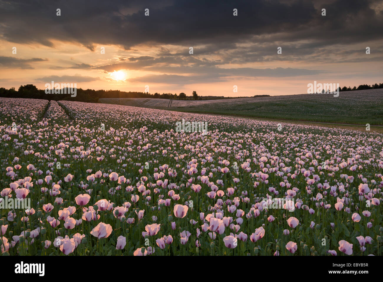 Opium Poppies at sunset, Oxfordshire, England. Summer (June) 2014. - Stock Image