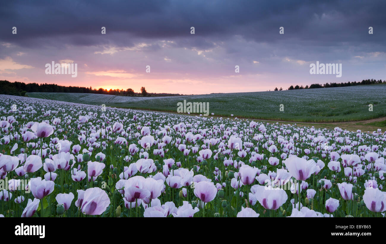 Opium poppyfield at sunset, Chilton, Oxfordshire, England. Summer (June) 2014. - Stock Image