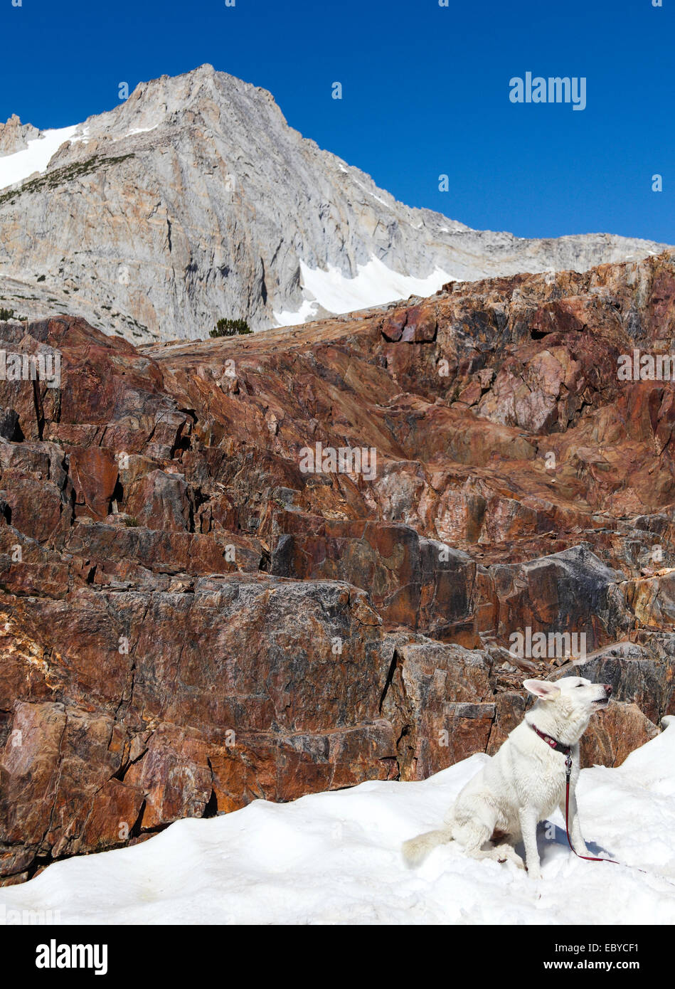 Dog  delighted by finding snowy patch in summer howls at 20 Lakes Basin - Stock Image