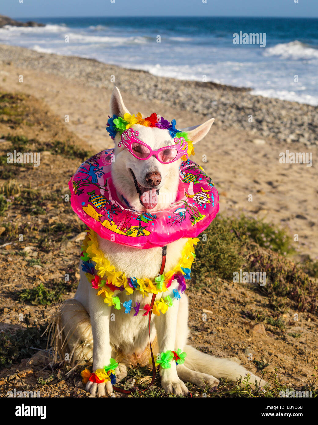 Dog in Halloween costume at the beach - Stock Image