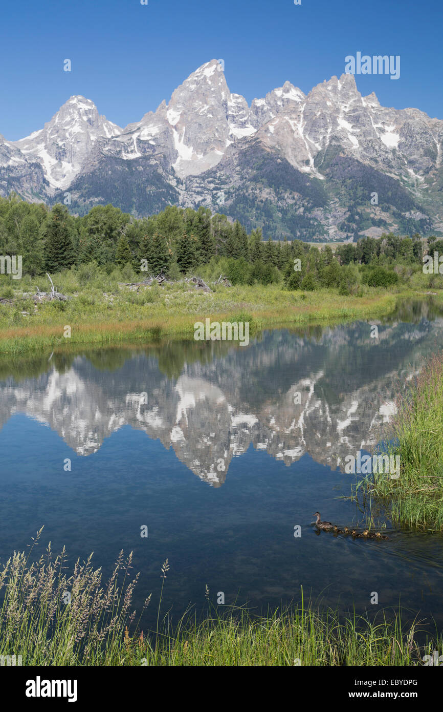 USA, Wyoming, Grand Teton National Park, water reflections of the Teton Range, mother duck and duckings (foreground, Stock Photo