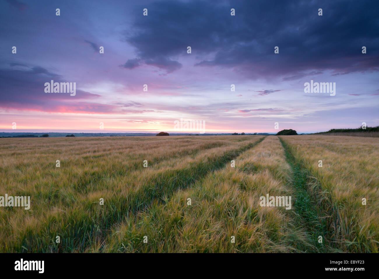 Barley field beneath a summer sunset, Devon, England. Summer (July) 2014. - Stock Image