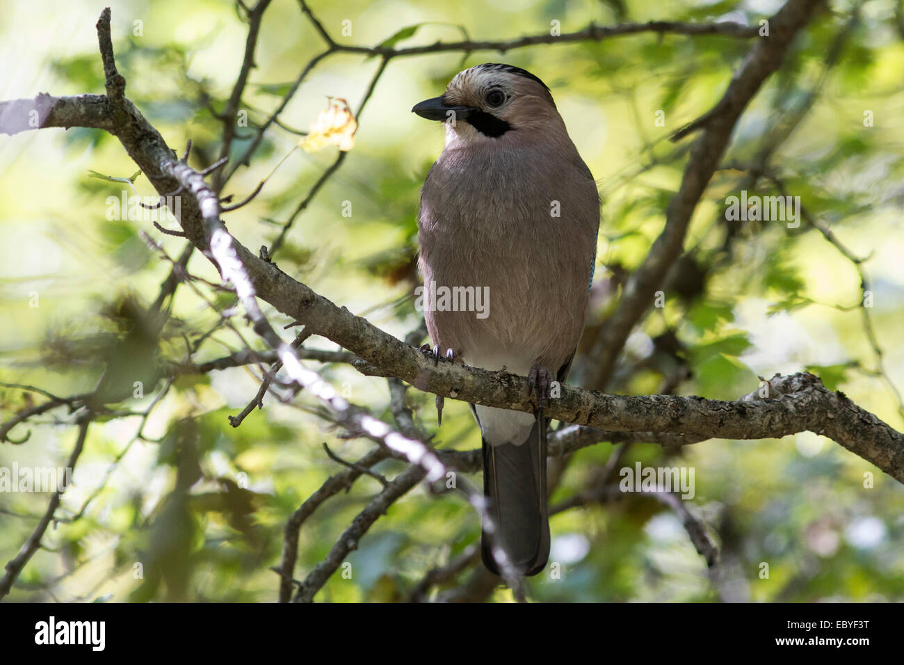 Black-headed or Caucasian  jay who sits on a branch in the forest - Stock Image