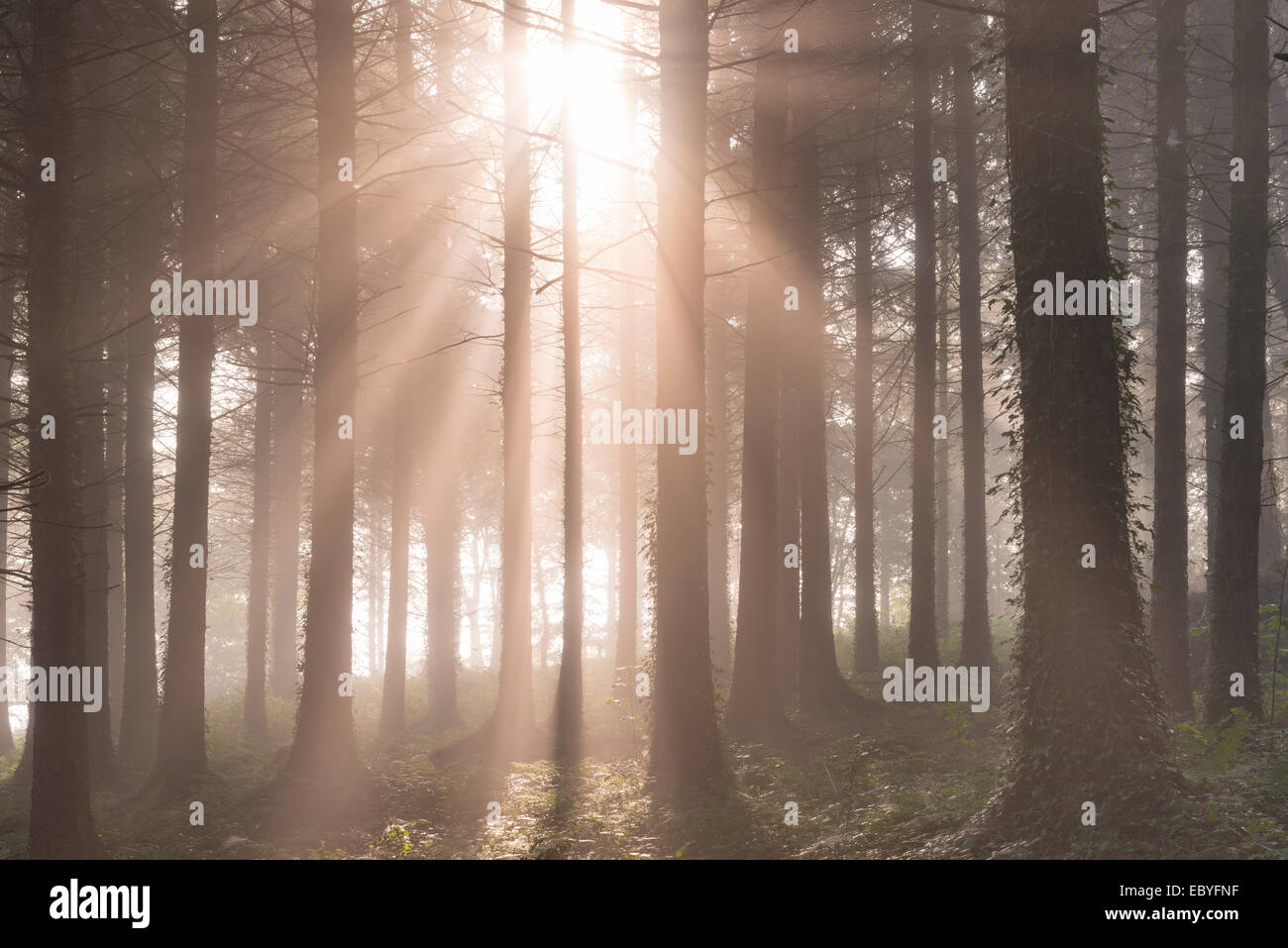 Early morning sunshine streams into a misty pine woodland, Devon, England. Autumn (September) 2014. - Stock Image