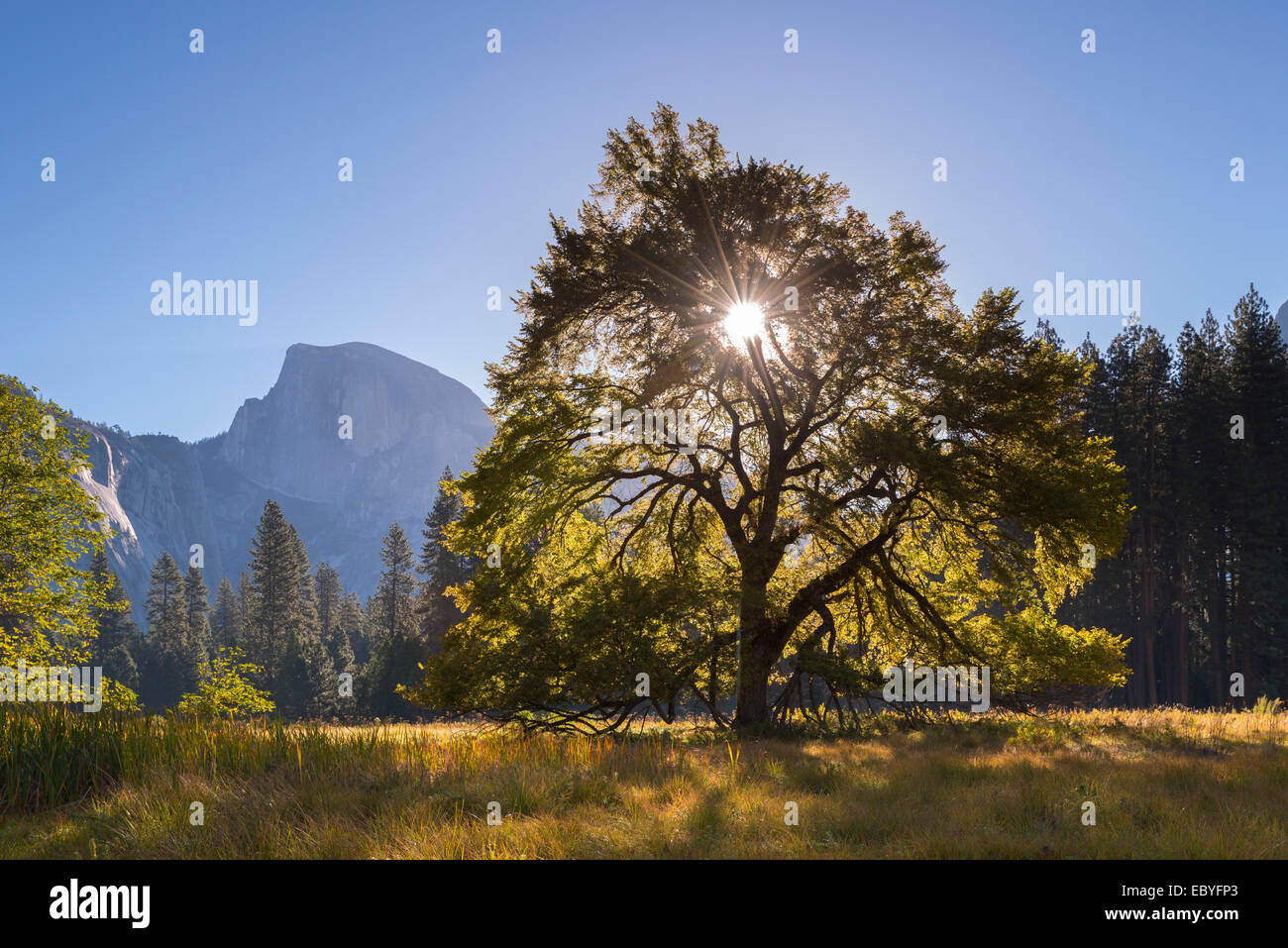 Half Dome and Elm tree in Cooks Meadow, Yosemite Valley, California, USA. Autumn (October) 2014. Stock Photo