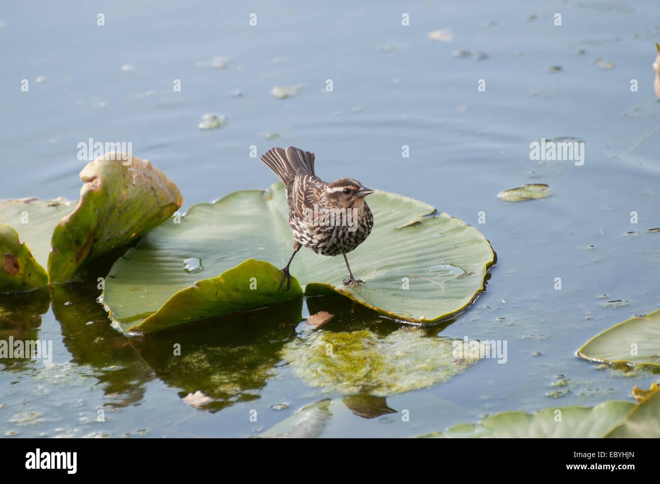 Lily Pad Bird Stock Photos & Lily Pad Bird Stock Images - Alamy