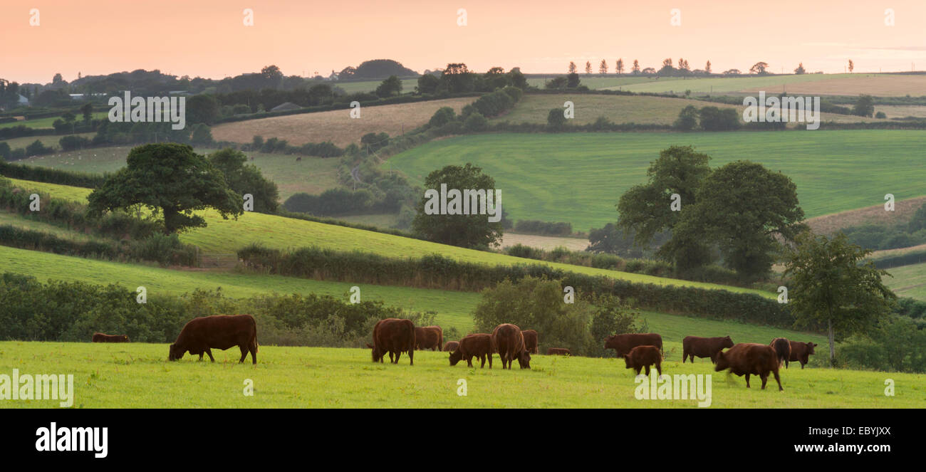 North Devon Red Ruby cattle grazing in the rolling countryside, Black Dog, Devon, England. Summer (July) 2014. - Stock Image