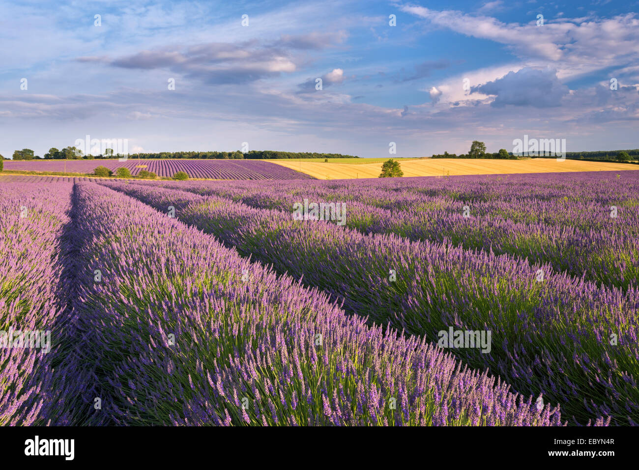 Lavender field in full bloom, Snowshill, Cotswolds, England. Summer (July) 2014. - Stock Image
