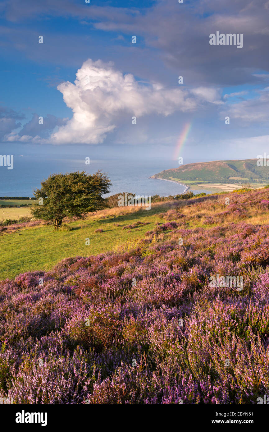 Heather in flower on Porlock Common, Exmoor National Park, Somerset, England. Summer (August) 2014. - Stock Image