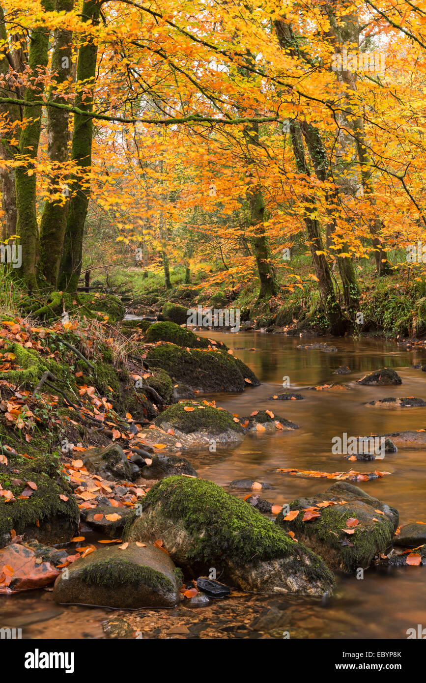 River Teign surrounded by autumnal trees, Dartmoor, Devon, England. Autumn (November) 2014. - Stock Image