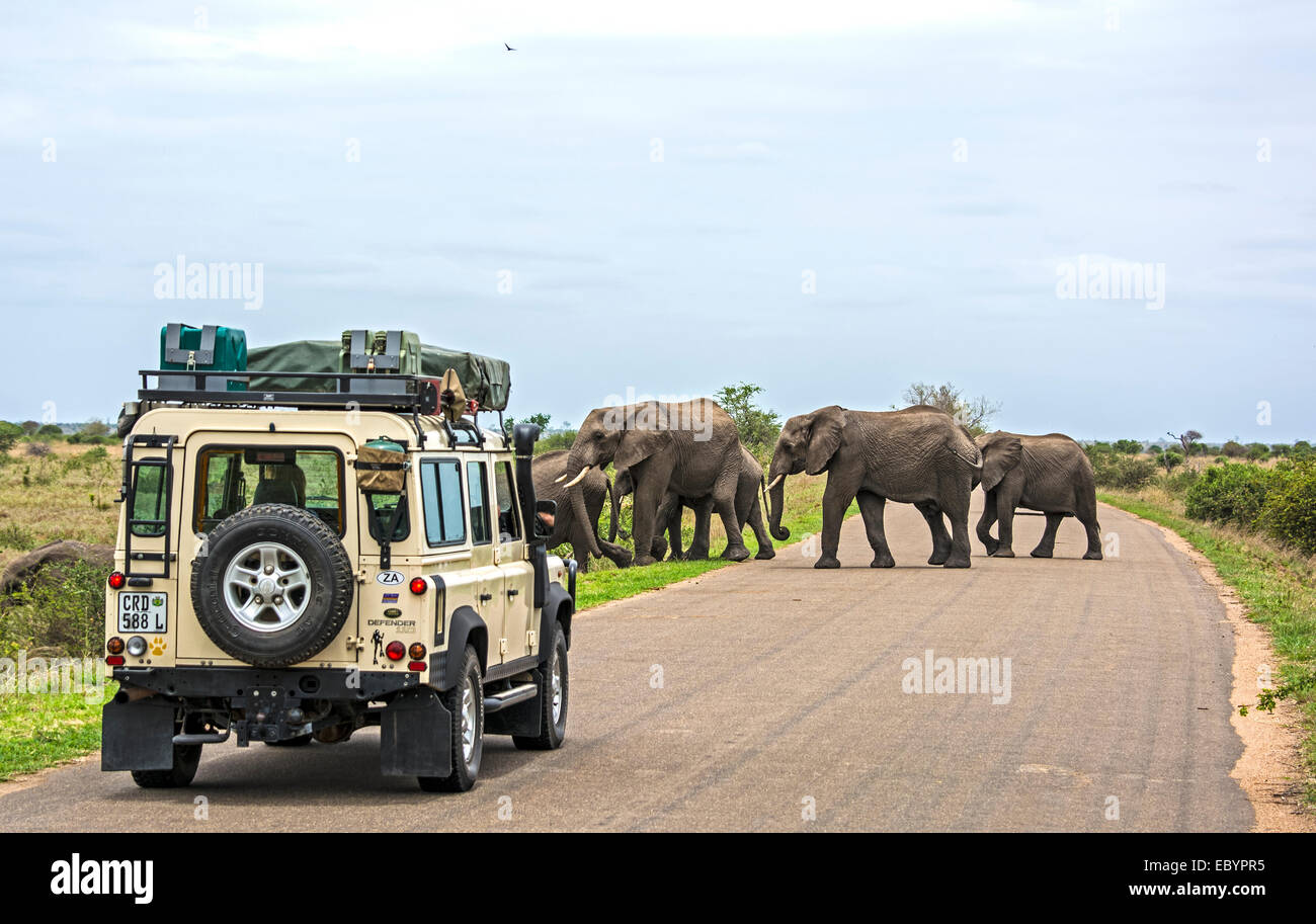 KRUGER NATIONAL PARK, SOUTH AFRICA: Visitors in a land-rover on safari in Africa are watching a herd of wild elephants - Stock Image