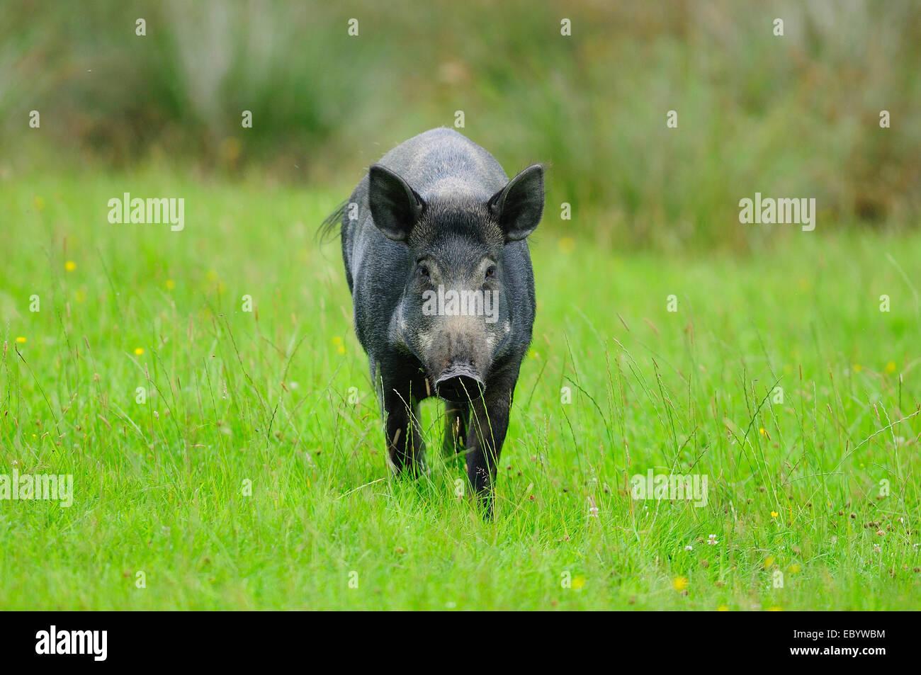 Female wild boar in field. Devon UK July 2014 - Stock Image