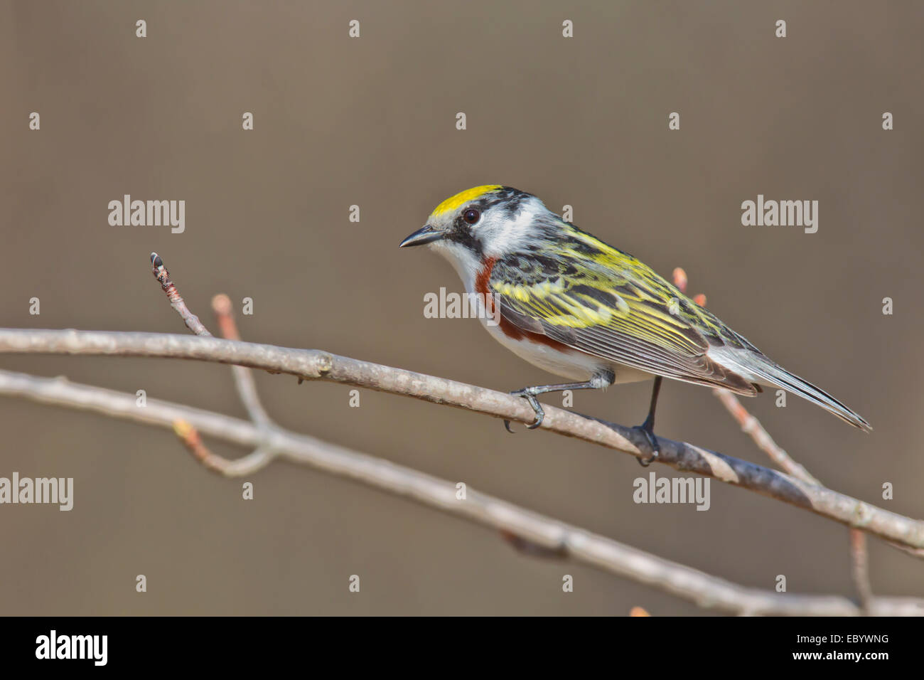 Chestnut-sided Warbler, Setophaga pensylvanica Stock Photo