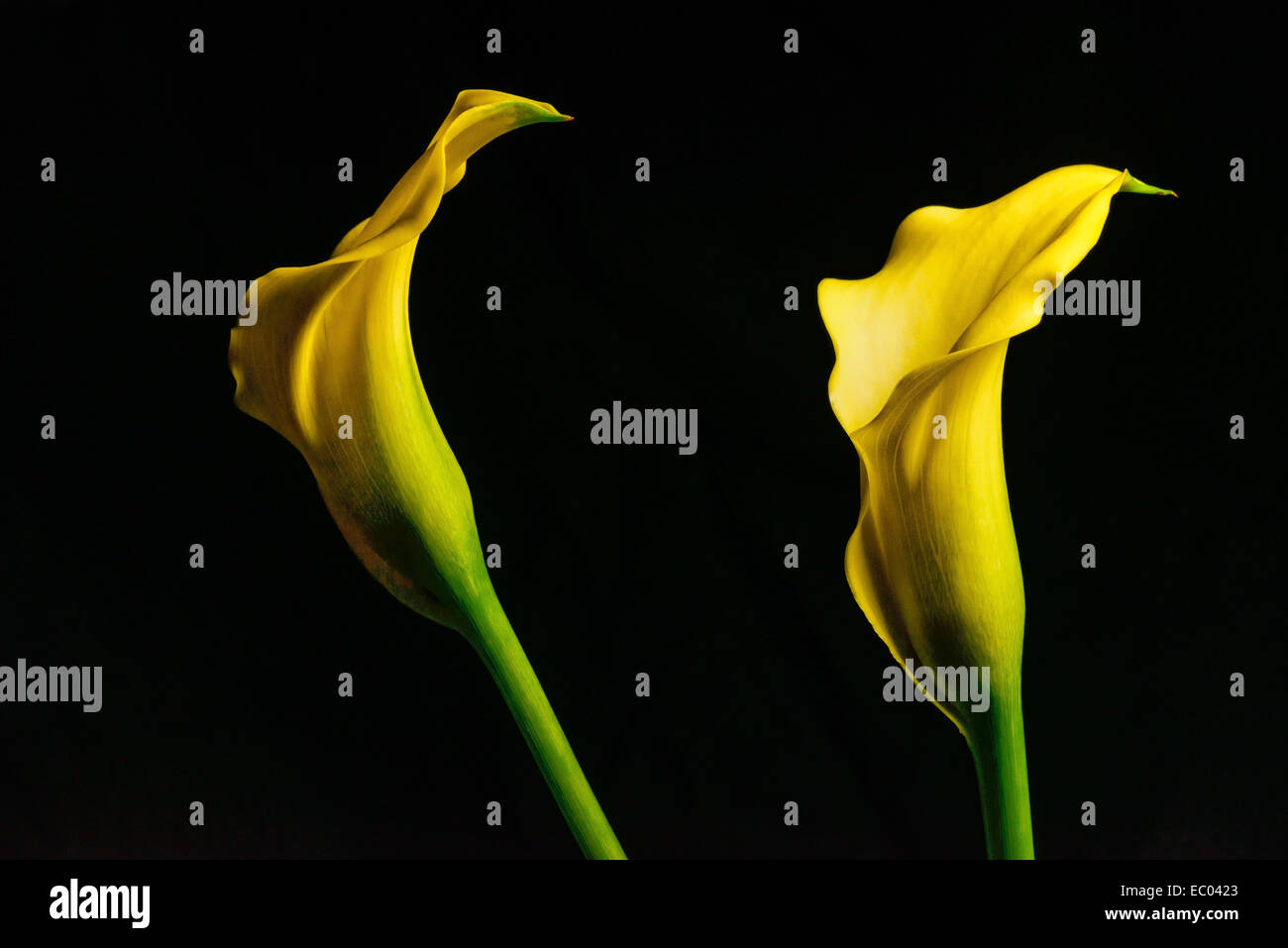 Yellow arum lily stock photos yellow arum lily stock images alamy two yellow calla lily zantedeschia aethiopica flowers against a black background also known izmirmasajfo