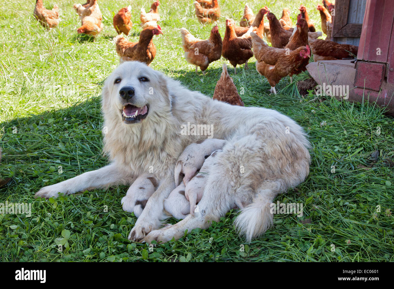Great Pyrenees mother with one week old puppies, free roaming Eco organic chicken, free range. - Stock Image