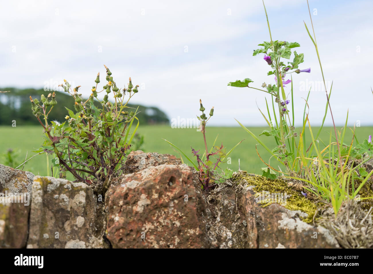 Wild plants and weeds growing on the top of an old stone field wall. - Stock Image