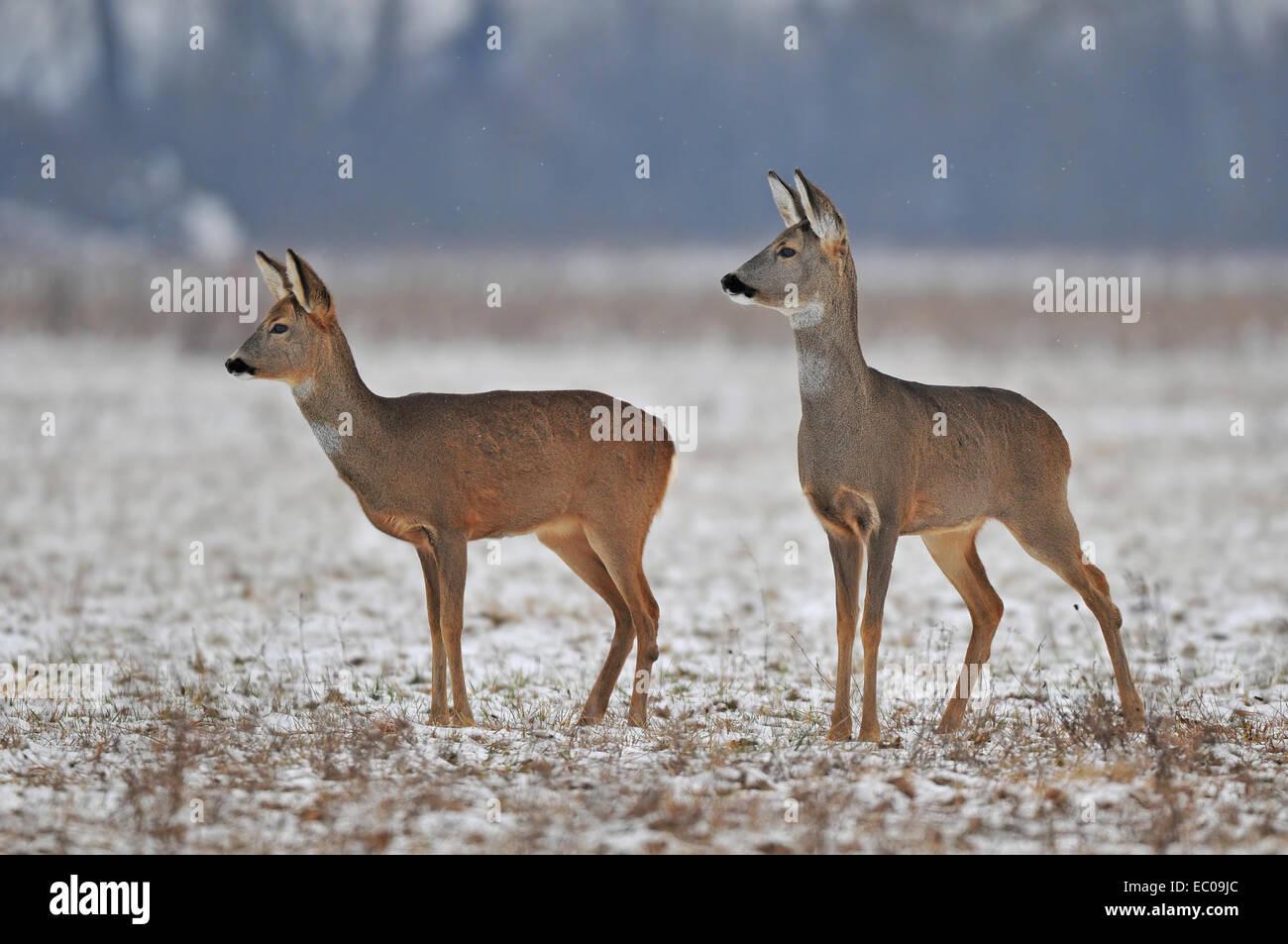 Roe deer in winter - Stock Image