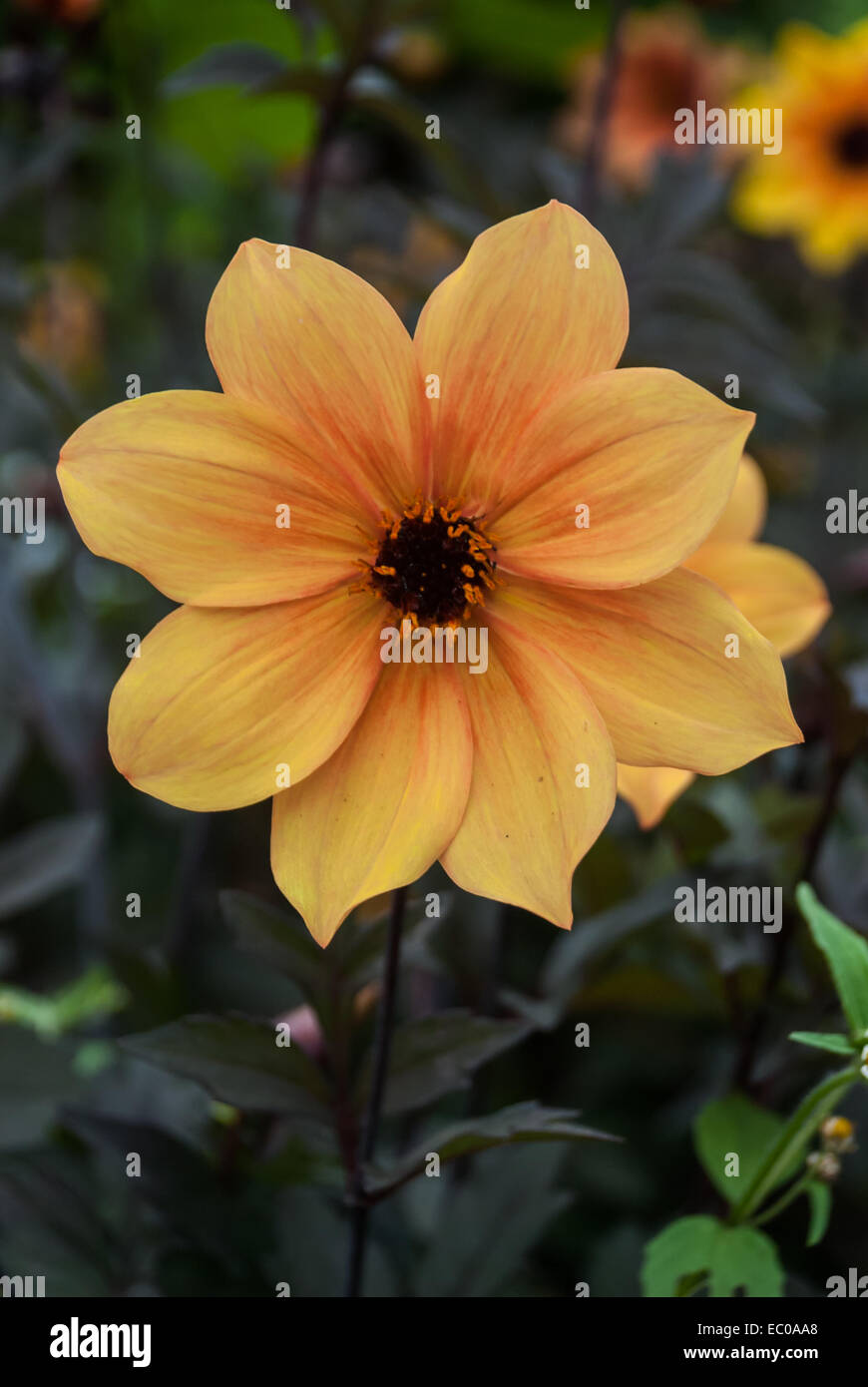 A Soft Yellow And Orange Flower With Brown Center Stock Photo