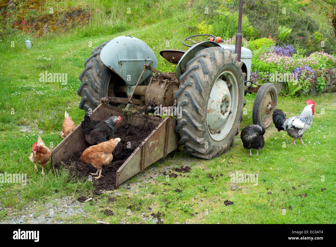 Free range chickens hens and cockerel pecking at manure in transport box of tractor in farmyard in Wales UK  KATHY - Stock Image