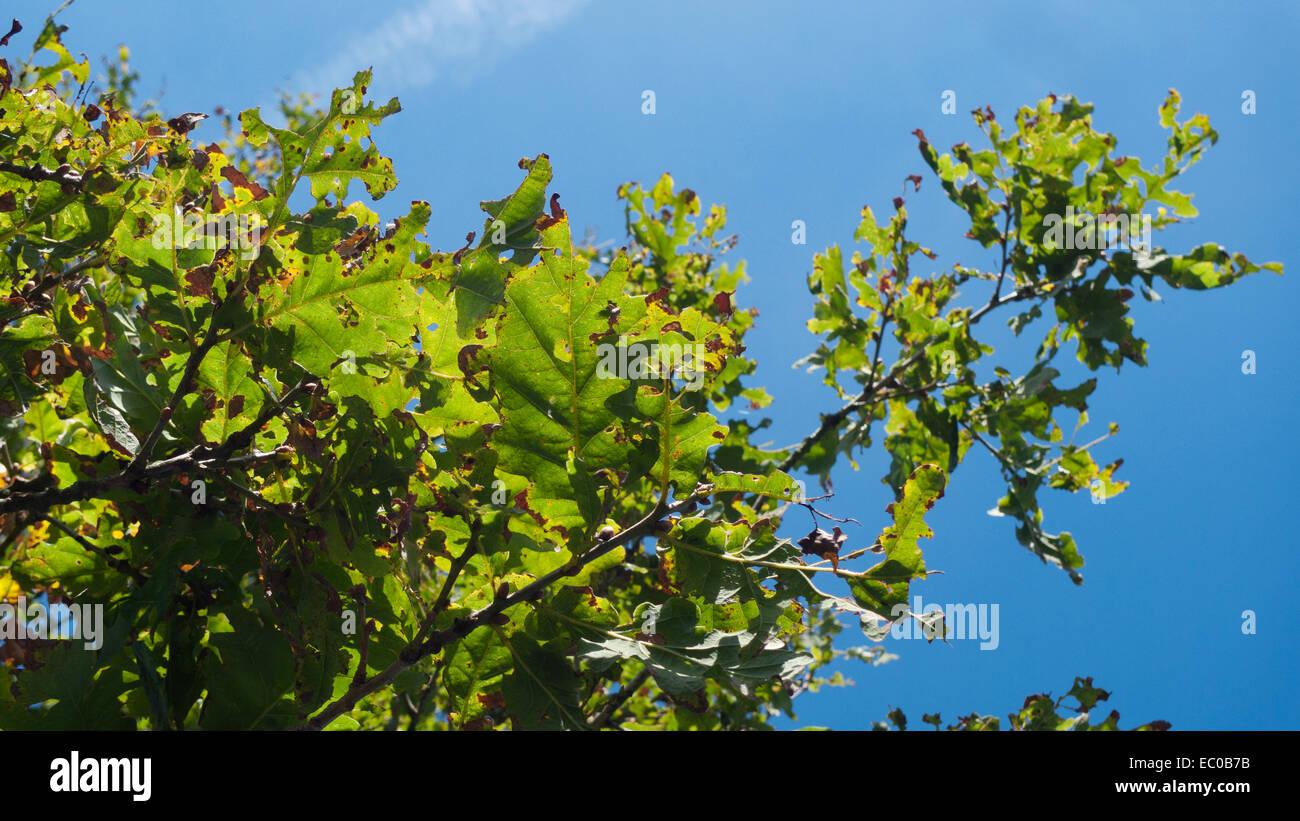 Diseased oak leaves on an oak tree in summer Wales UK  KATHY DEWITT - Stock Image