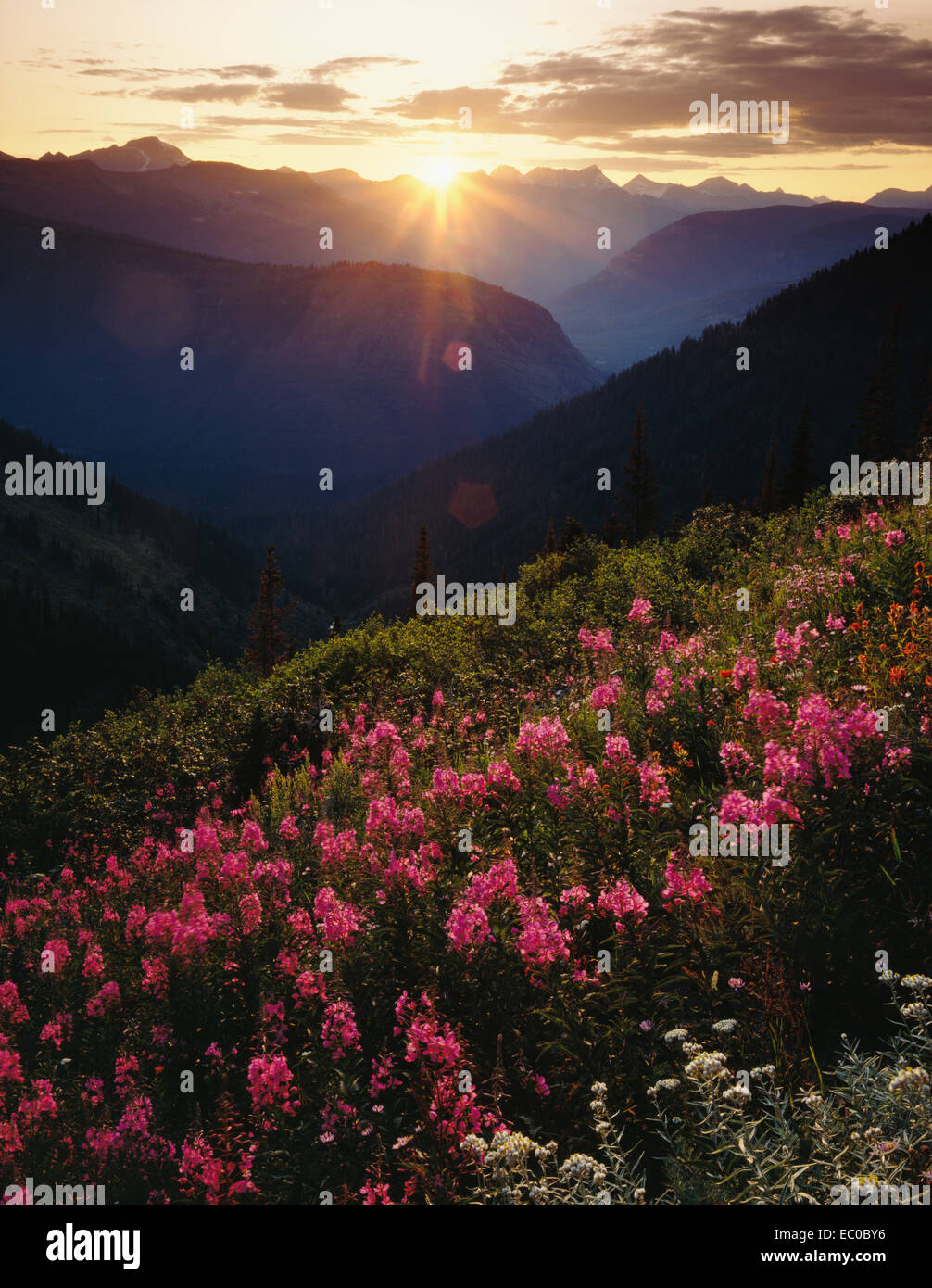 dramatic sunset over mountains with red fireweed in foreground. Glacier National Park, Montana - Stock Image