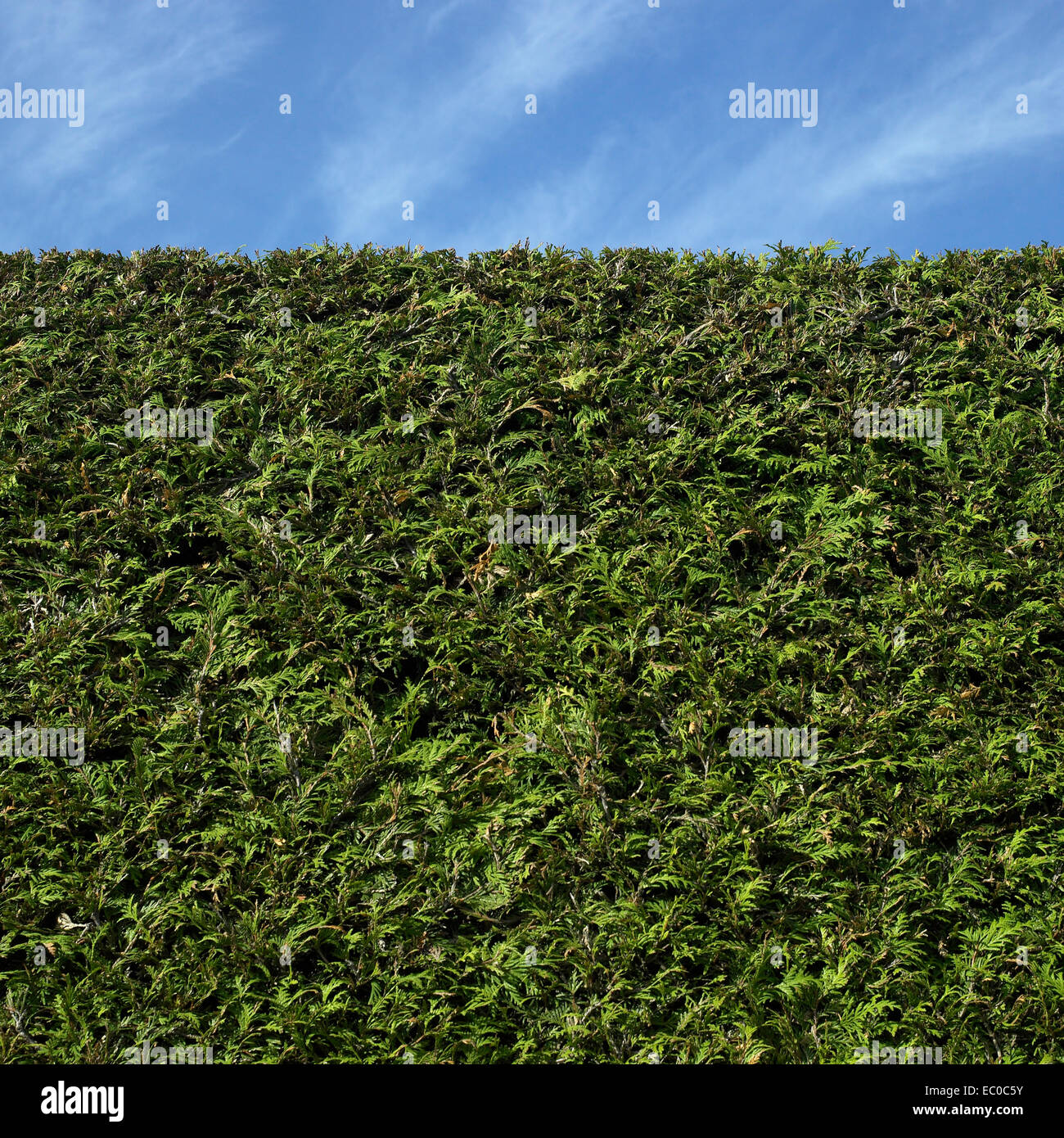 Perfectly trimmed green cedar hedge and blue sky - Stock Image