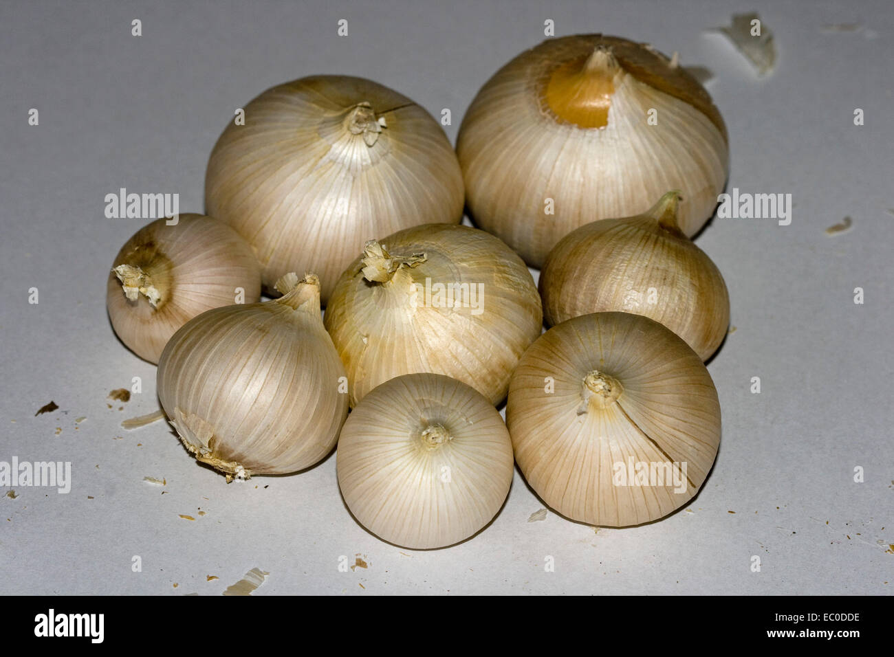 Cluster of freshly harvested bulbs of giant Russian / elephant garlic, on pale background - Stock Image