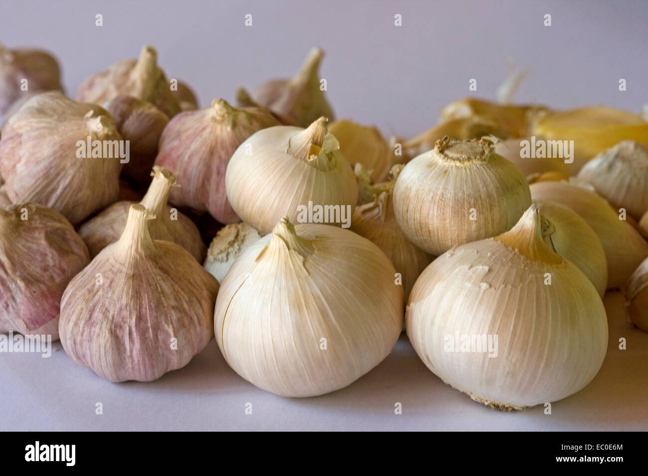 Cluster of freshly harvested bulbs of giant Russian / elephant garlic by smaller ones of red Italian garlic on pale - Stock Image