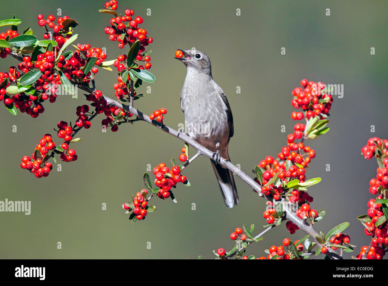 Townsend's Solitaire  Myadestes townsendi Patagonia Mountains, Santa Cruz County, Arizona, United States 5 December - Stock Image