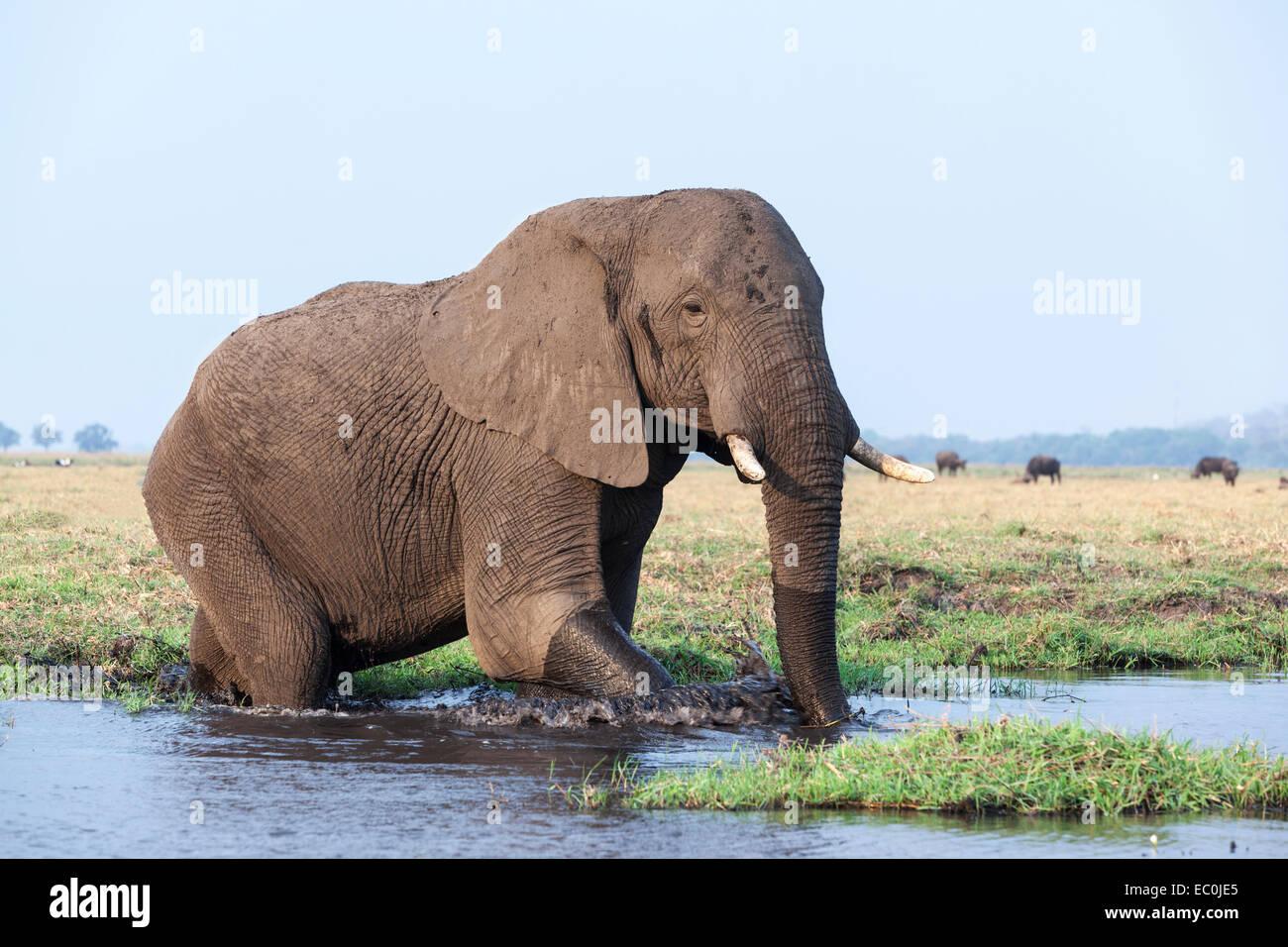 African elephant (Loxodonta africana) in water, Chobe National Park, Botswana, - Stock Image