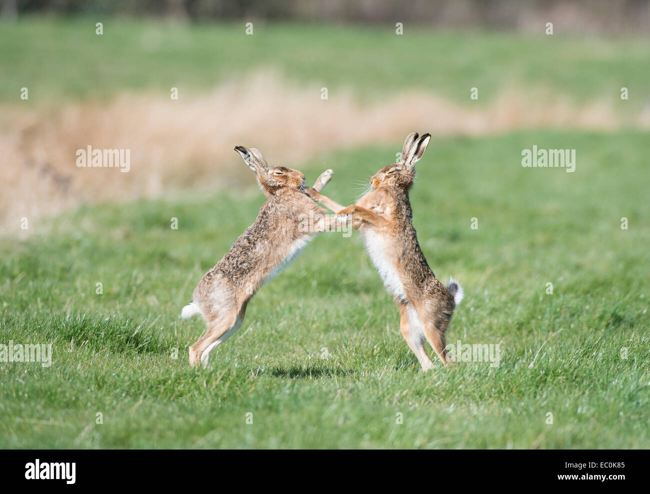 Brown Hares (Lepus europaeus), adult male and female 'boxing' during spring mating season.  East Anglia, - Stock Image