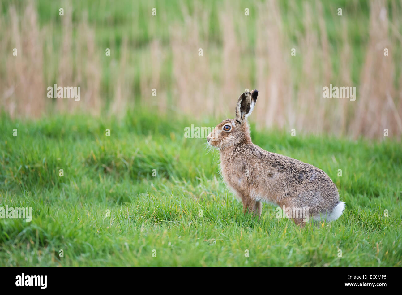European Brown Hare (Lepus europaeus) in a meadow, UK. Stock Photo