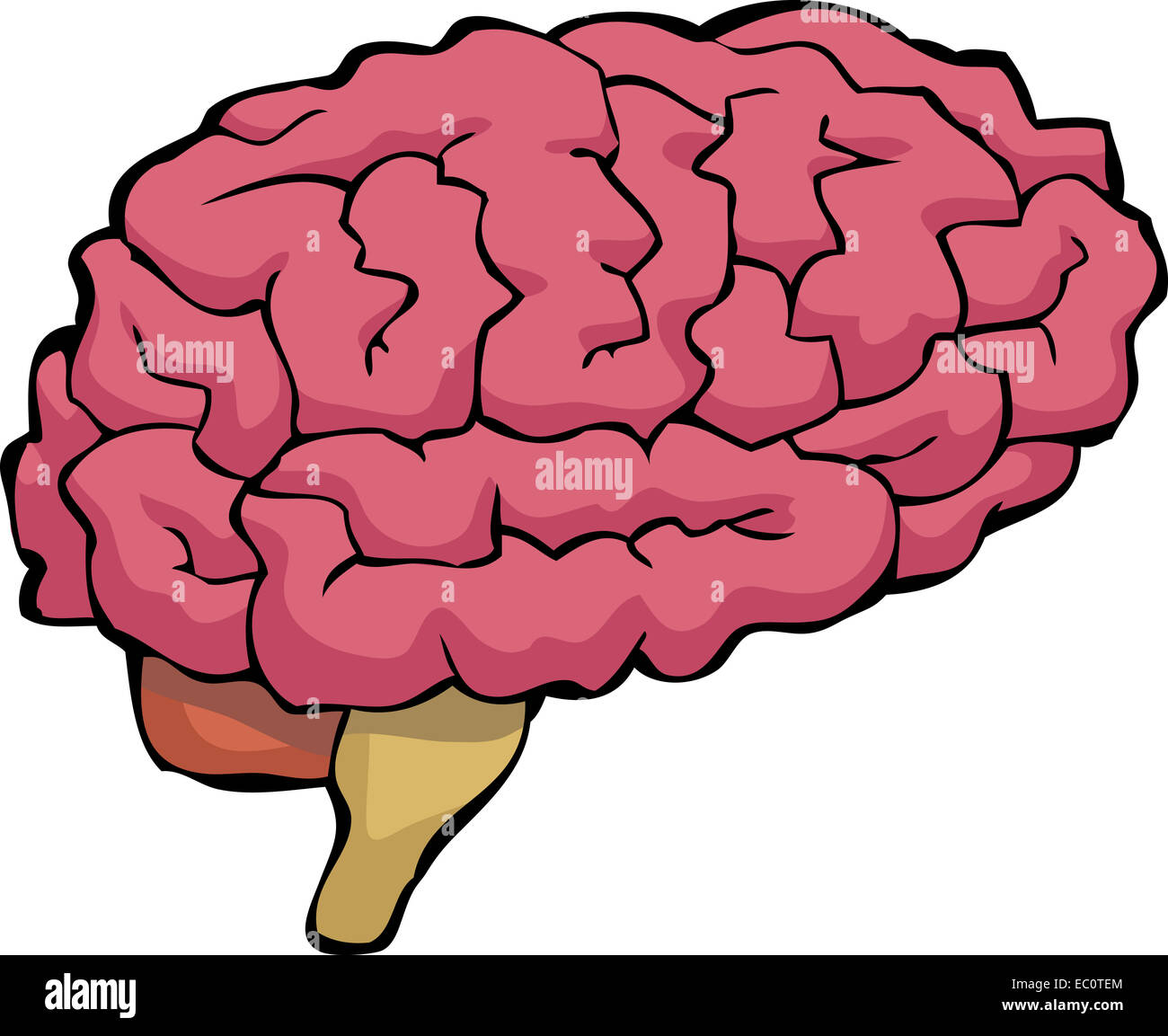 Brain on a white background - Stock Image