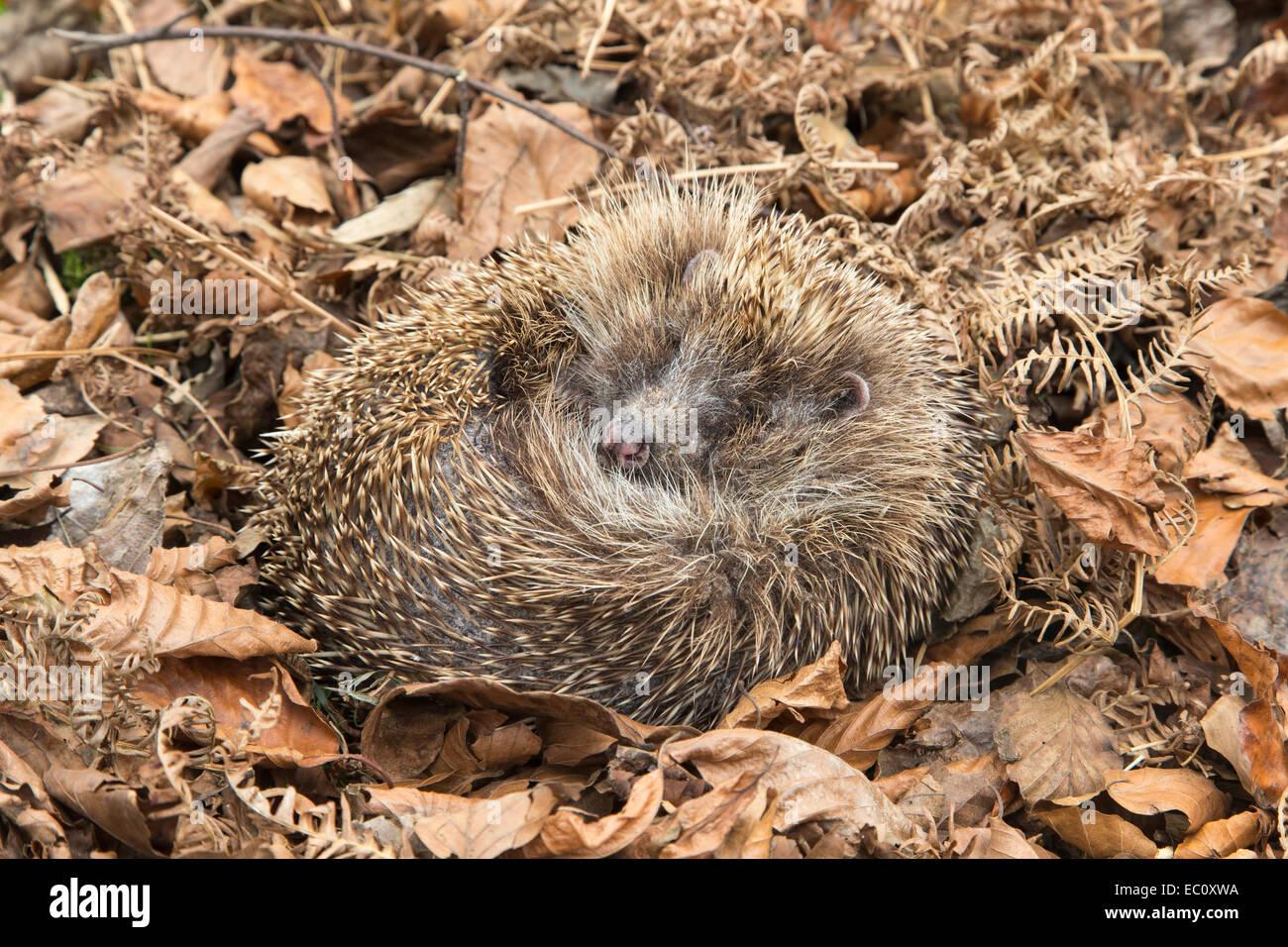 Hedgehog (Erinaceus europaeus) sleeping in autumn leaves, captive, UK Stock Photo