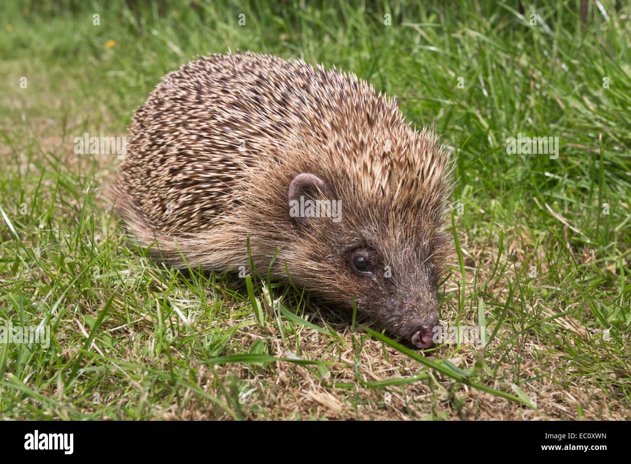 Hedgehog (Erinaceus europaeus), captive, UK - Stock Image