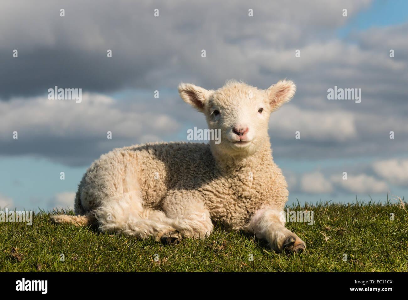 basking little lamb - Stock Image