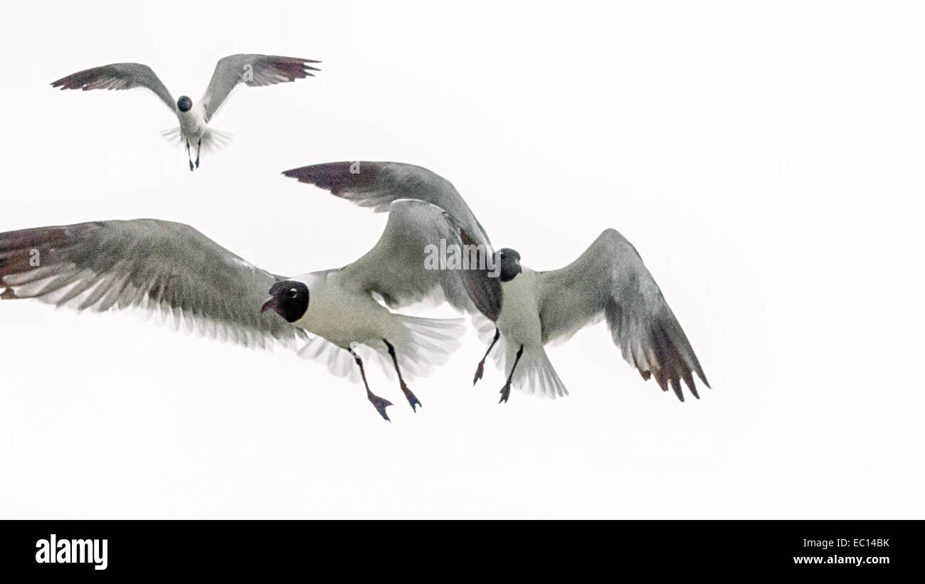 An editorial monochromatic view of Sea Gulls in flight. - Stock Image