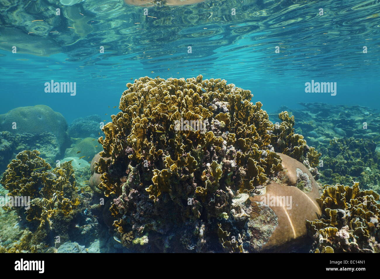 Bladed fire coral in a shallow reef with ripples of underwater surface, Caribbean sea - Stock Image