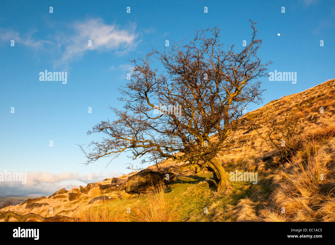 A Hawthorn tree bathed in golden sunlight on the side of Eccles Pike in Derbyshire, England. The moon in a deep - Stock Image