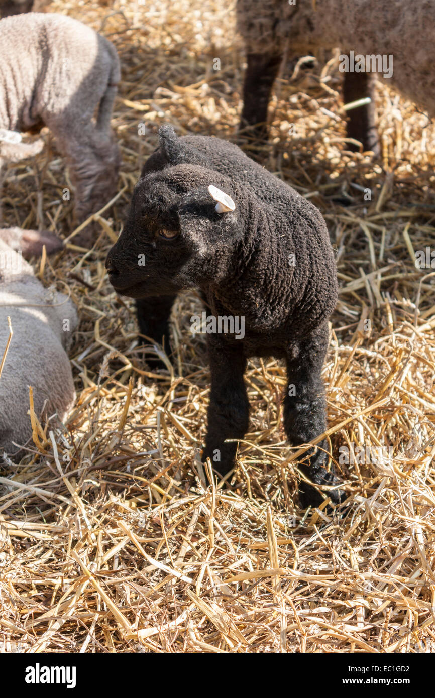A tagged newborn black lamb among other lambs and ewes, looks for its mother in a straw pen. - Stock Image