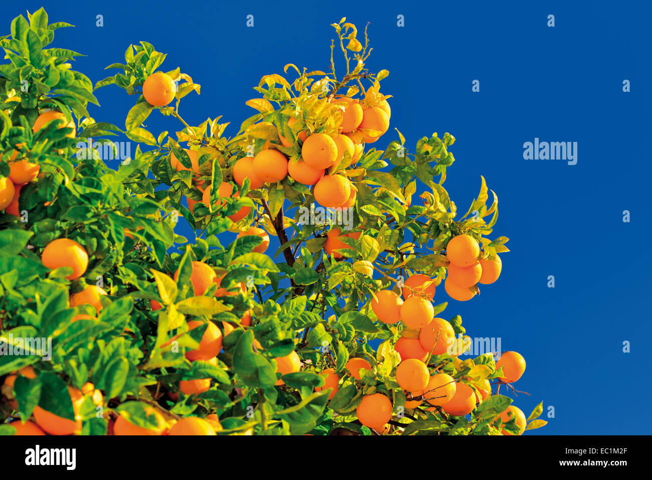 Portugal, Algarve: Orange tree with fruits (Citrus sinensis) in Faro Stock Photo