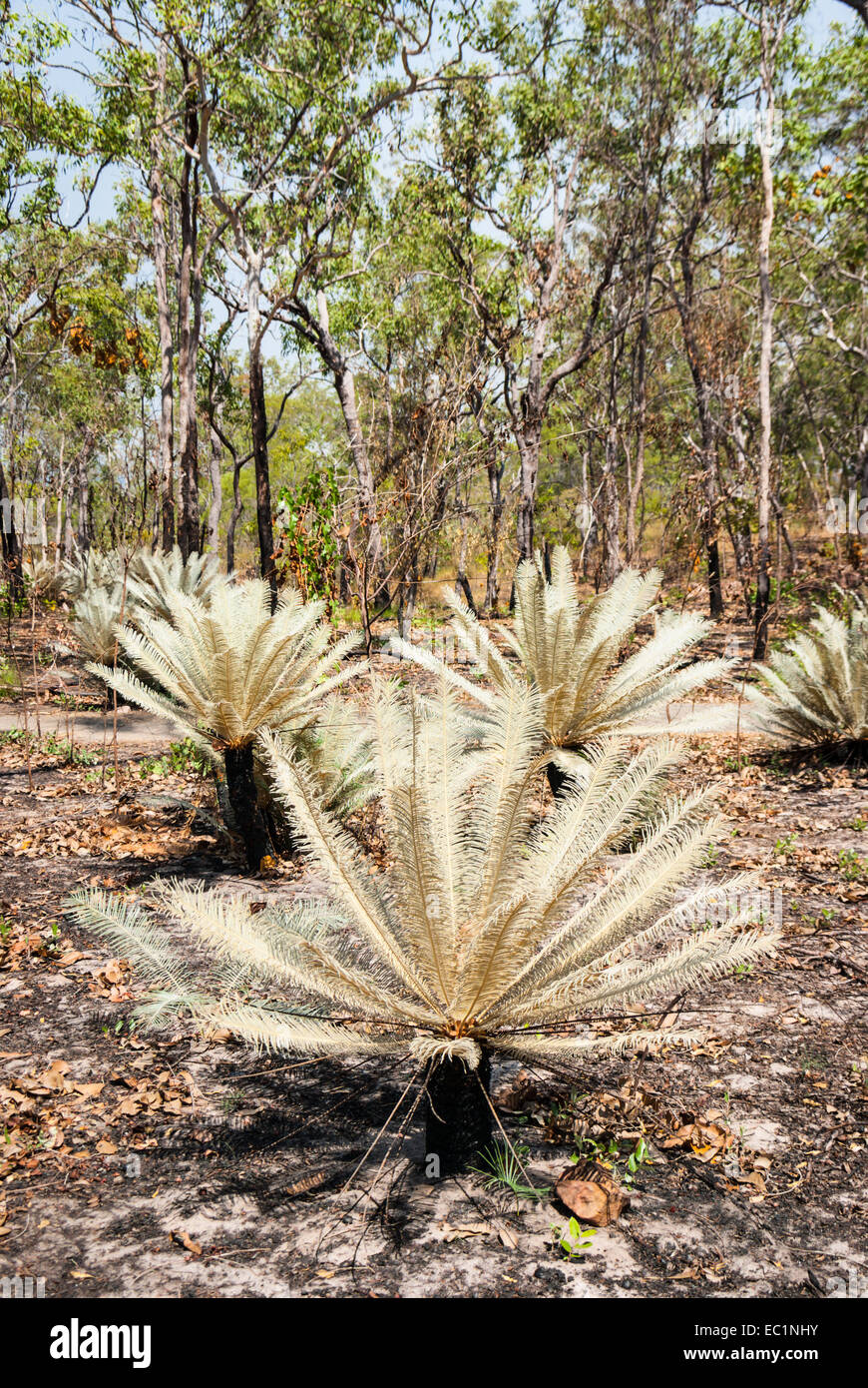 Cycads with silvery fronds in Litchfield National Park, Australia - Stock Image