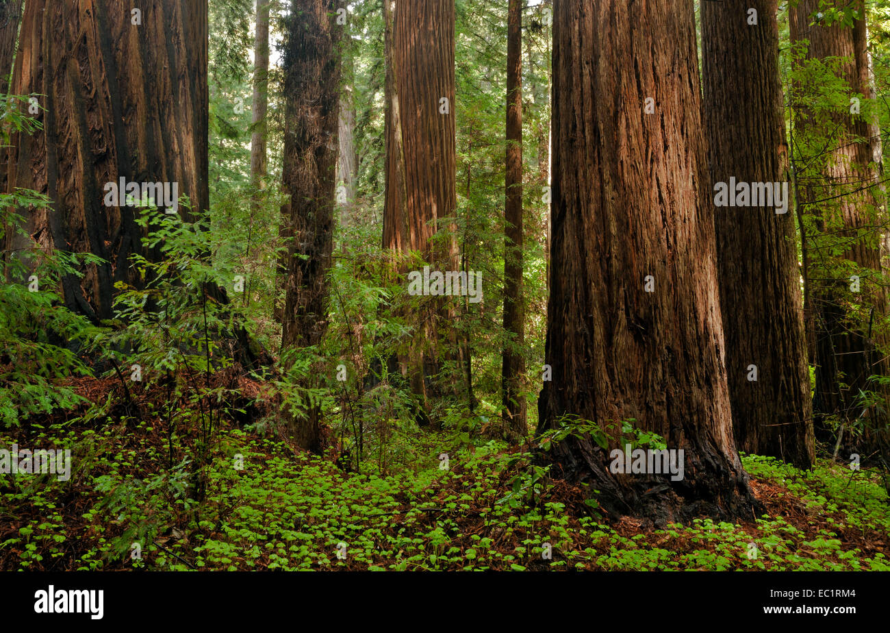 CA02448-00...CALIFORNIA - Redwood trees along the Redwood Grove Loop Trail in Henry Cowell Redwoods State Park. - Stock Image