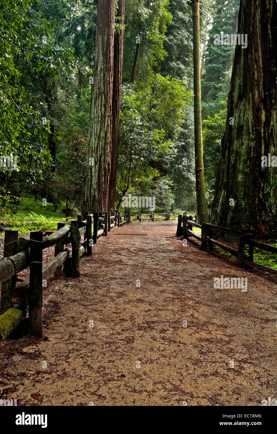 CA02450-00...CALIFORNIA - Redwood trees along the Redwood Grove Loop Trail in Henry Cowell Redwoods State Park. - Stock Image