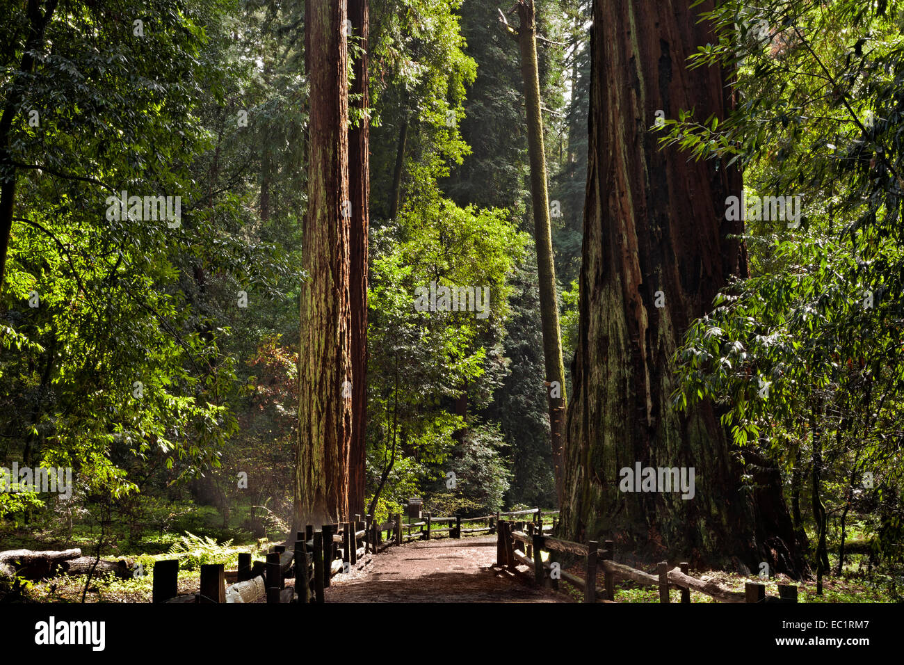 CA02451-00...CALIFORNIA - Redwood trees along the Redwood Grove Loop Trail in Henry Cowell Redwoods State Park. - Stock Image