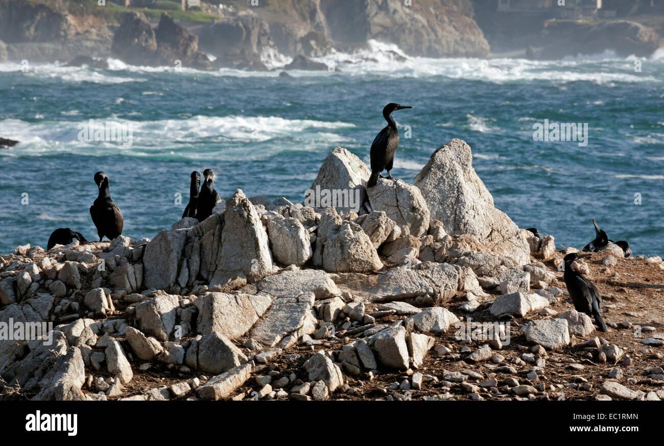 CA02466-00...CALIFORNIA - Birds on Bird Island in Point Lobos State Reserve. - Stock Image