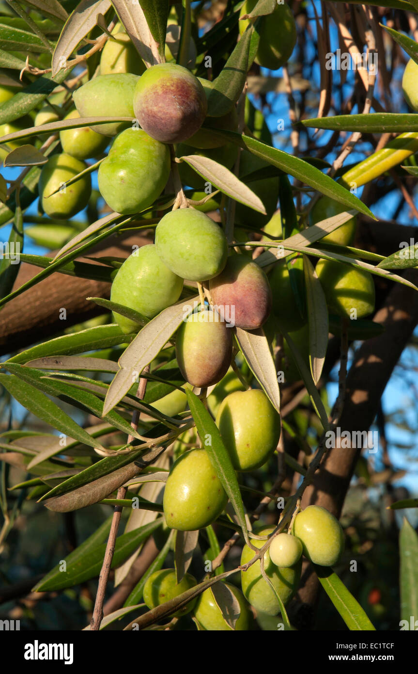 Olive tree - olives, Jaen province, Region of Andalusia, Spain, Europe - Stock Image