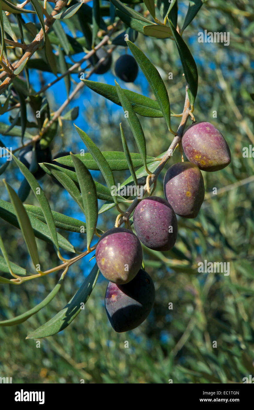 Olive tree, Jaen province, Region of Andalusia, Spain, Europe - Stock Image